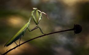 insect, mantis, verde, floare, stvili, Macro, zeln