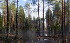 foresta, paludi, alberi, paesaggio