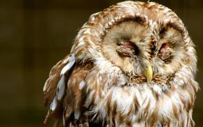 птица, сова, оперение, закрытые глаза, пестрая
