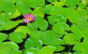 fiore, loto, ninfea, acqua