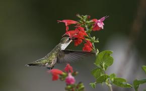 птица, колибри, цветы, зелень, макро