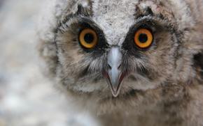 bird, Owl, owlet, macro, beak