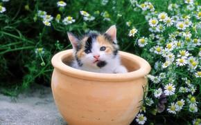 котенок, горшок, цветы, ромашки