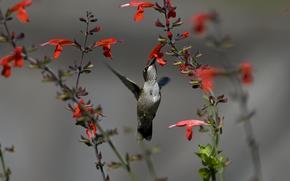 птица, колибри, цветы, красные