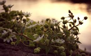 цветы, белые, мелкие, закат, вечер, макро, лиана, листья, бутоны