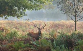 nature, Deer, Horn, Siberian stag, Trees, fern, grass, autumn