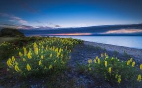 Lac Taupo, nouvelle-zlande, Lac Taupo, Nouvelle-Zlande, Fleurs, lupin, paysage, lac