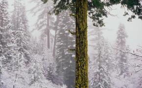 paesaggio, natura, albero, abete, foresta, bellezza, inverno, neve