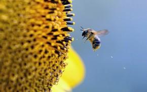 bee, pollen, flower, sky