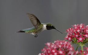 птица, колибри, цветок, розовый