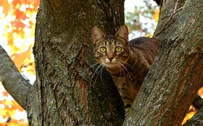 Kote, gatto, albero, tronco, ramo, glazishchami