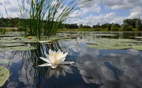 palude, fiore, foresta, giglio di acqua, loto, giglio di acqua, cielo, riflessione