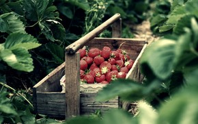 nature, box, strawberry, strawberry, macro