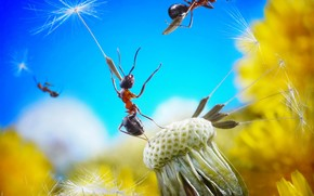 муравьи, одуванчик, полёт, мечта, находка