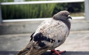 uccello, piccione, bokeh