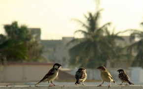 птицы, воробьи, банда, боке
