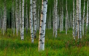 Dalarna, sweden, Svezia, alberi, Betulla, boschetto
