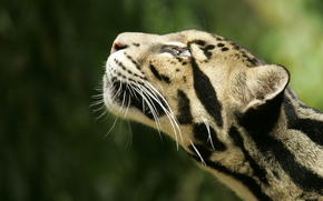 animali, fumoso, leopardo, testa