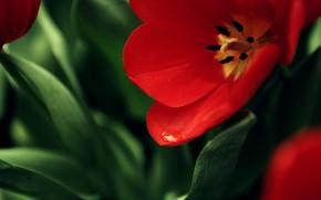 цветок, мак, красный, фон