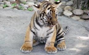 tiger cub, animal, tiger, cat