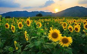 Natur, Sunflowers, Blumen, Feld, Sonne, Hills