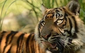 киска, язык, морда, хищник, суматранский тигр