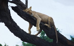 lioness, on the tree, resting