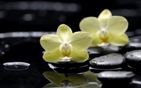 цветы, орхидеи, фаленопсис, желтые, камни, плоские, черные, капли, вода, отражение