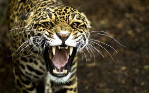 Хищник, леопард, клыки, оскал