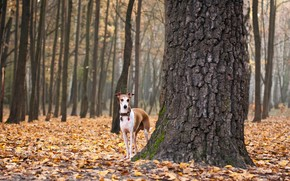 dog, leaves, autumn