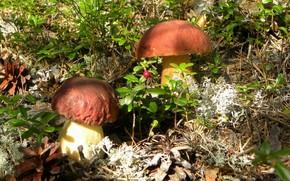 грибы, боровик, белый гриб, шишки, брусника