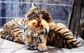 Siberian Tiger, cubs