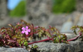 stone, flower, liana, pink, macro, shoots, leaves