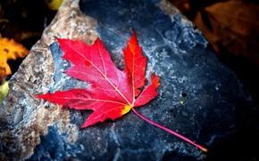 tema de otoo, hoja de arce rojo, piedra, agradable, claramente.