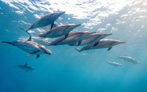 delfini dal naso lungo, malogolovy delfini, dlinoklyuvaya Stenella, delfino tropicale, Hawaii, oceano, acqua, gregge, james rd scott fotografia