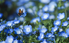 Nemofila, blu, fiori, Petali, farfalla, campo, sfocatura