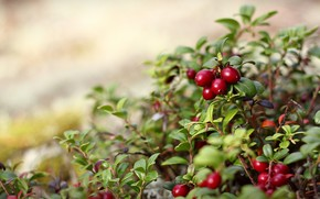 nature, Berries, red, bush, leaflets