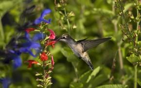 птица, колибри, зелень, цветы, макро