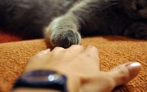 mano, pata, gris, gato, tocar