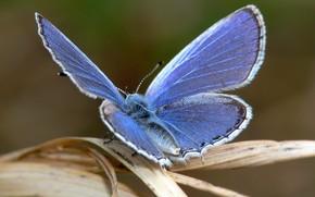 бабочка, лист, синий