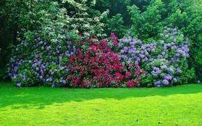 rododendron, krzak, drzew, trawa, GREEN, lato