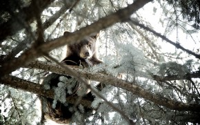 medved, albero, natura