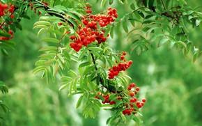 rowan, branch, red, green, drops, Berries