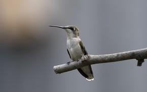 птица, колибри, ветка, палка