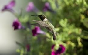 птица, колибри, цветы, петунии, солнце