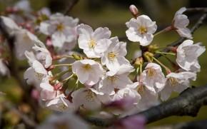 Giappone, sakura, albero, natura