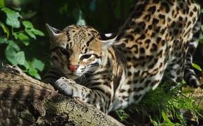 ocelot, wildcat, predatore, grugno, Spot