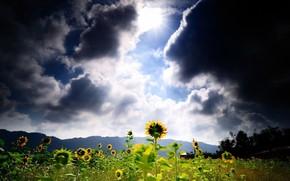 pole, Soneczniki, chmury, soce