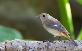 bird, gray, branch, nature, greens