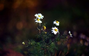 background, forest, nature, Daisies